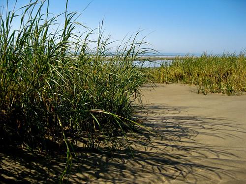 Beach Grasses