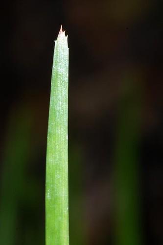 Romnalda ophiopogonoides