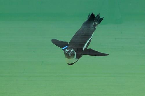 Brillenpinguin im Parc zoologique de Champrepus