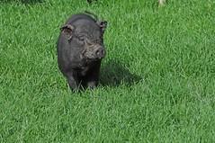 Minischwein im Tierpark CERZA bei Lisieux in der Normandie