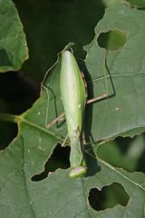 三保市民の森のハラビロカマキリ(Mantis, Miho Community Woods)
