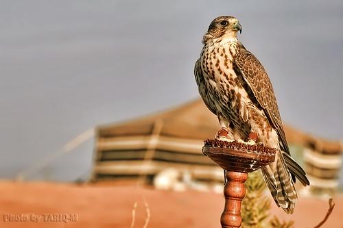Falcon by TARIQ-M