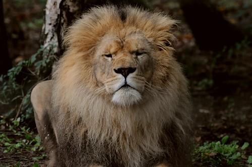 Afrikanischer Löwe im Tierpark CERZA in der Normandie