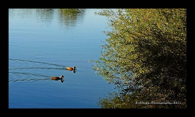 #290/365 Ducks
