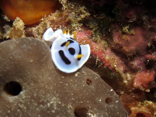 ダイアナウミウシ (Chromodoris dianae)