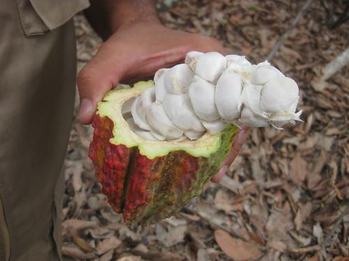 Cacao Ecuador Hacienda Jambeli