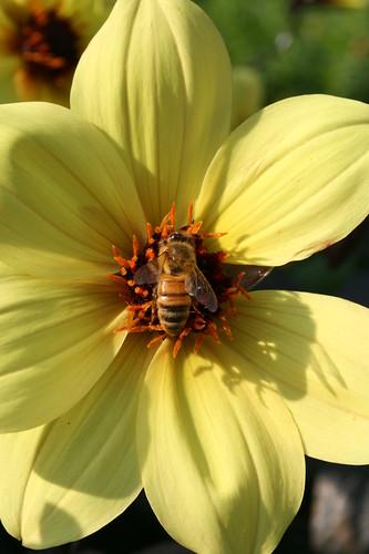 Bee on Dahlia