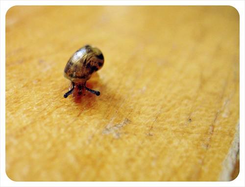 new pet snail