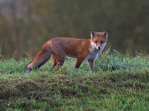 Fox on the river bank