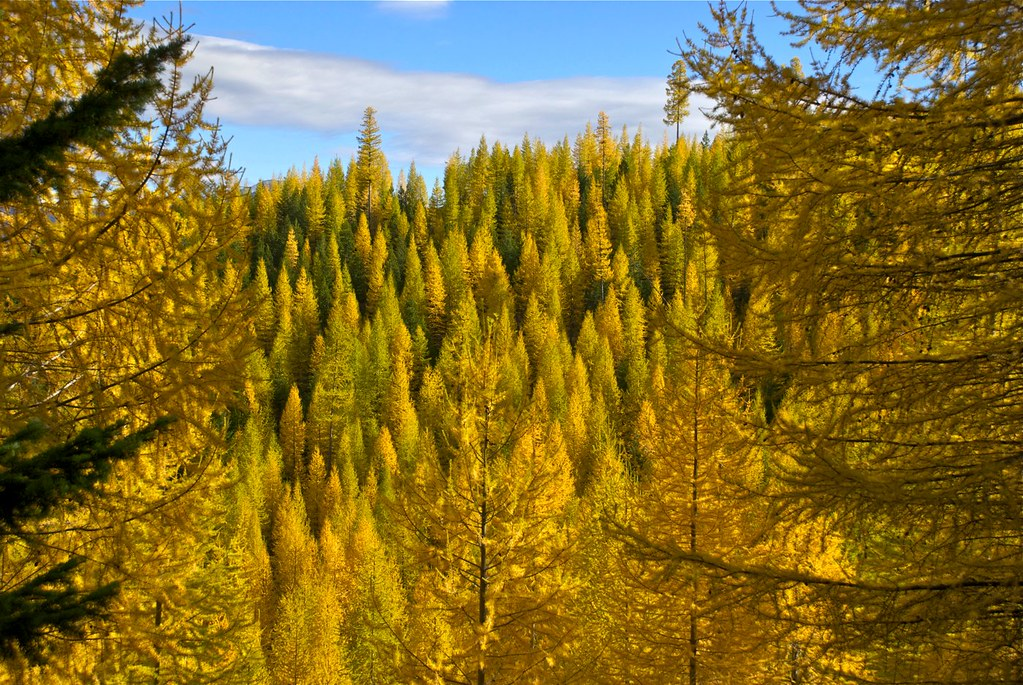 Western Larch in Autumn