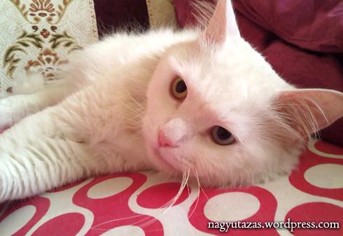 Szép, hófehér török van cica