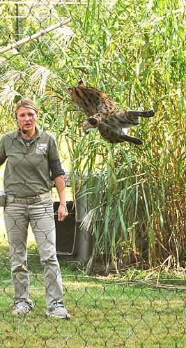 Serval Jump