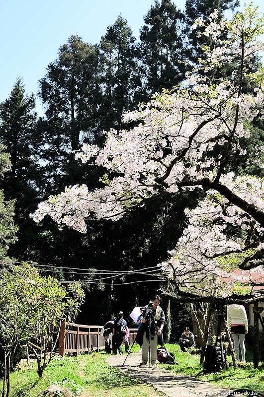 阿里山櫻花106