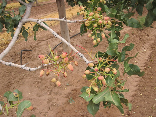 Picture From the Eagle Ranch Pistachio Groves