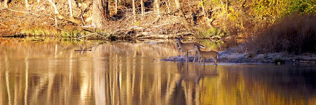 Deer Reflection 1