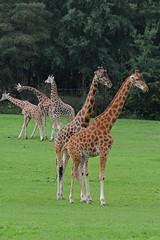Giraffen im Tierpark CERZA bei Lisieux in der Normandie