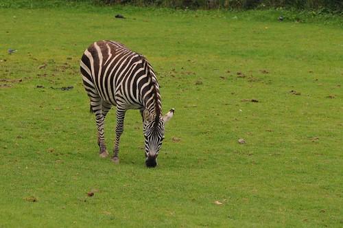 Böhm-Steppenzebra im Parc zoologique de Champrepus
