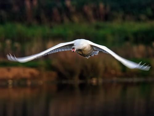 Mute Swan-flight_4