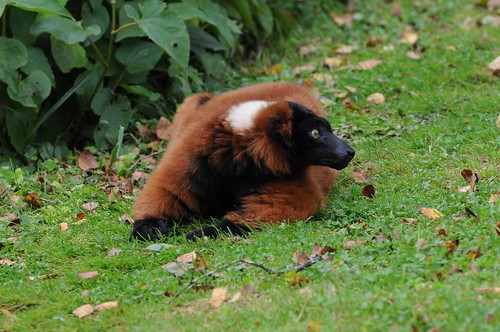 Roter Vari im Parc zoologique de Champrepus