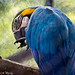 """A blue Macaw • <a style=""""font-size:0.8em;"""" href=""""http://www.flickr.com/photos/41711332@N00/6353411305/"""" target=""""_blank"""">View on Flickr</a>"""
