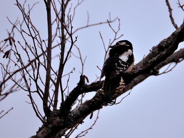 woodpecker, dendrocopos major