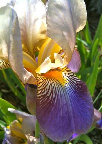 iris tongue
