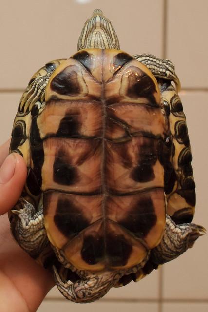 送養兩歲多巴西龜兩隻[一公一母](已送出) - 寵物認養專區