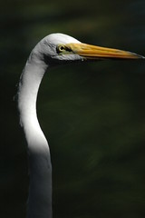 GreatEgret08