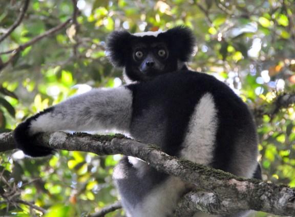 El extraño INDRI, el lémur mas grande de Madagascar.