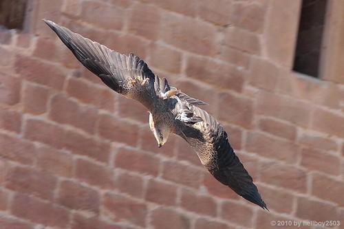 Falke (Falco) by hellboy2503