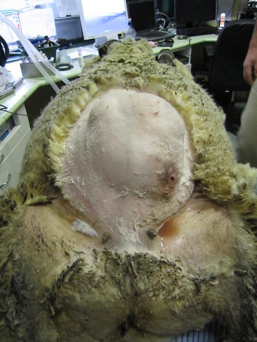 hernia in sheep