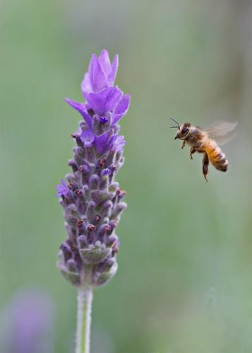 Lavender Landing Pad