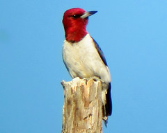 Red-headed Woodpecker at the Tourne, Morris County, NJ, 7-17-2011