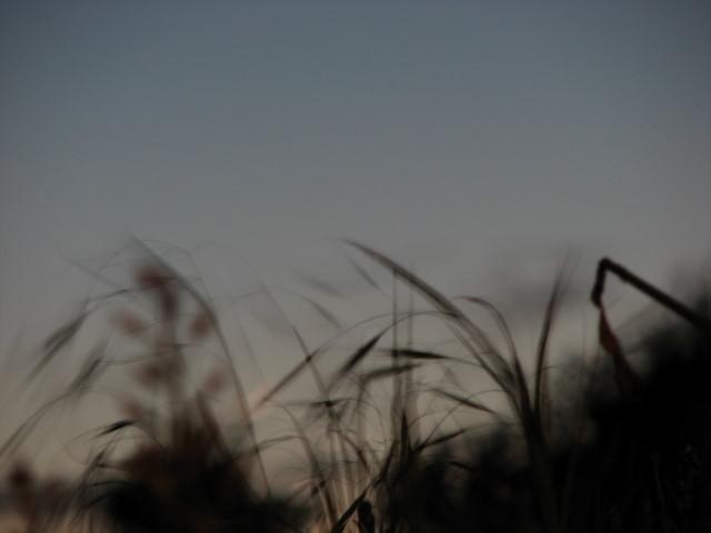 Wild Grasses at Dusk