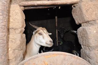 Goat in house