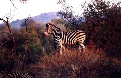 zebra g