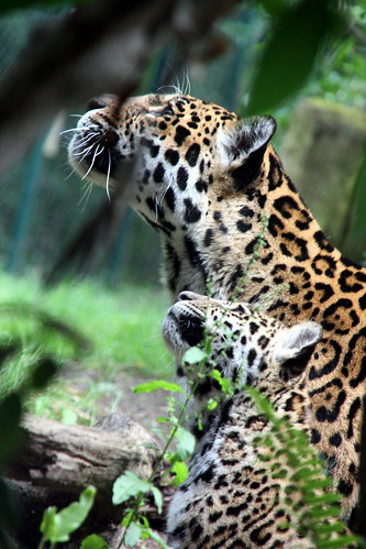 Jaguar - dotted neck by marfis75