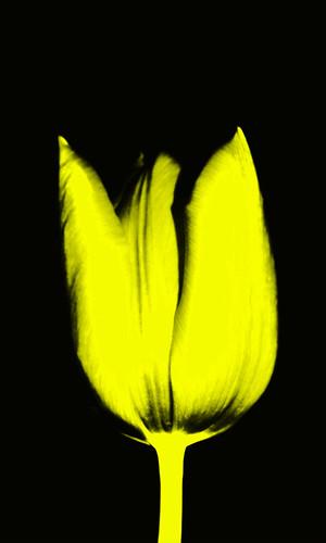 Tulpe schwarz/gelb