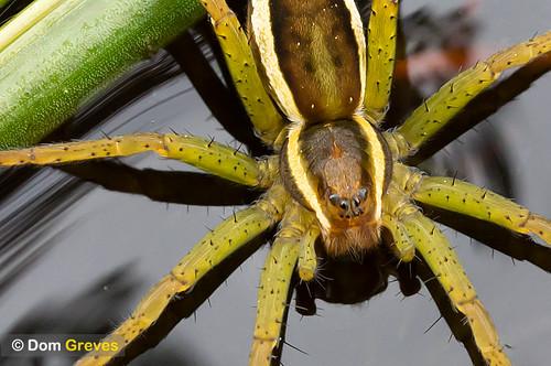 Raft spider on pond surface