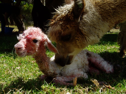 Mom is relieved cria is out and alive