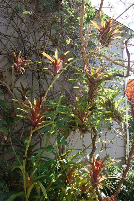 Bromeliad fence
