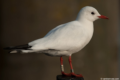 Black-headed Gull, W[LSB], 6cy, leucistic