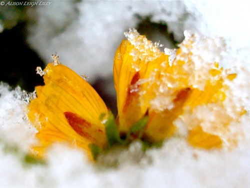 Snow Clings to Wildflower II
