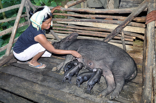 ILRI pig production project in Nagaland