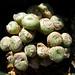 Conophytum fraternum