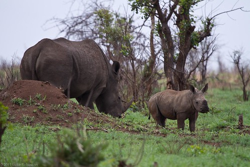 White Rhino and Young
