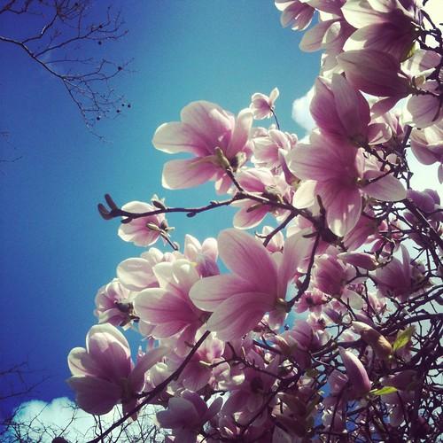 magnolia i central park II