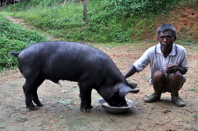 ILRI pig production project in Nagaland