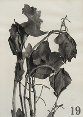 Sycamore Fig Leaves, Theban Necropolis, 1924–25, by Harry Burton