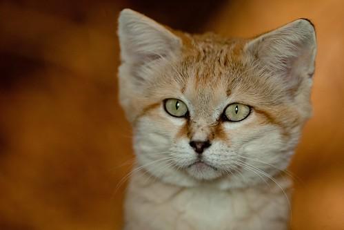 Sand Cat 62